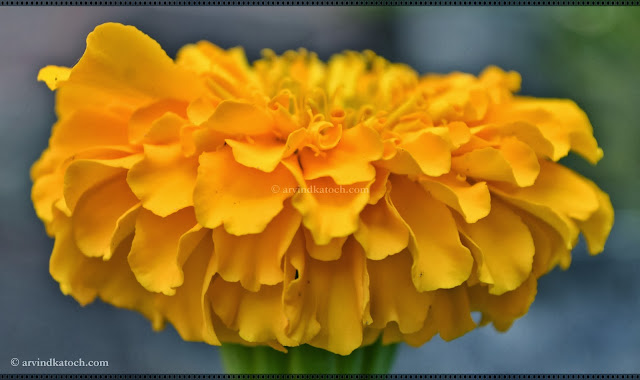 marigold, yellow, flower, sideview,