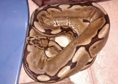 Woman Wakes To Find This Huge Python On Her Bed