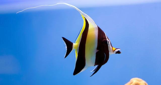 Gambar Ikan Moorish Idol - Budidaya ikan