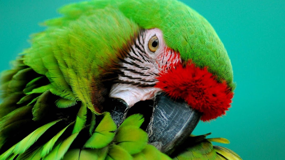 Green Parrot HD Wallpaper