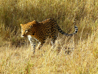 Big five, animals. afrika, africa, Büffel, elefanten, leopard, löwen, nashorn,Cecil,