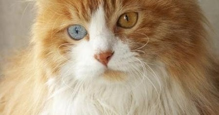 Life expectancy in Turkish Angora Cats - Annie Many