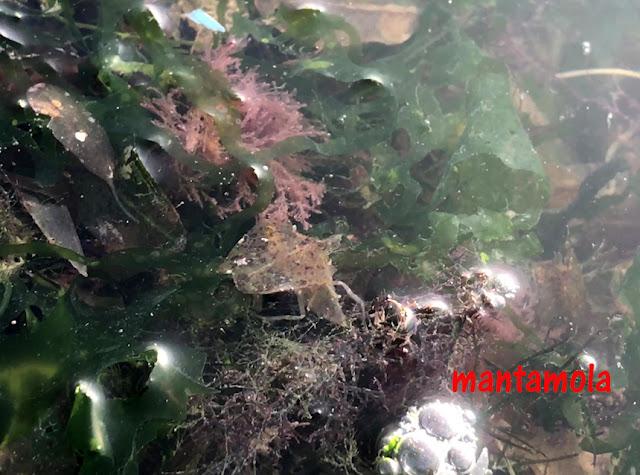 Leaf-porter crab (Neodorippe callida)