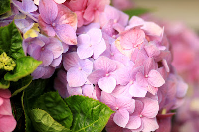 Pink and Purple Hydrangeas - Flower Photography by Mademoiselle Mermaid.