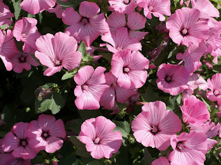 Lavatère à grandes fleurs - Lavatère d'un trimestre - Mauve-royale - Lavatera trimestris