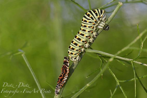 Schwalbenschwanz-Raupe (Papilio machaon) frisch gehäutet