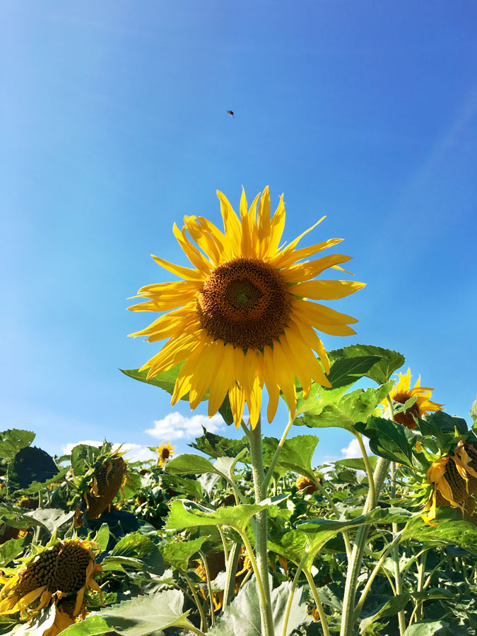 sunflower, sonnenblume, yunaban, witch, natural, healing, naturheilkunde, seed cycling, seeds, period, blog, schweiz, vegan, blogger, nature, flower