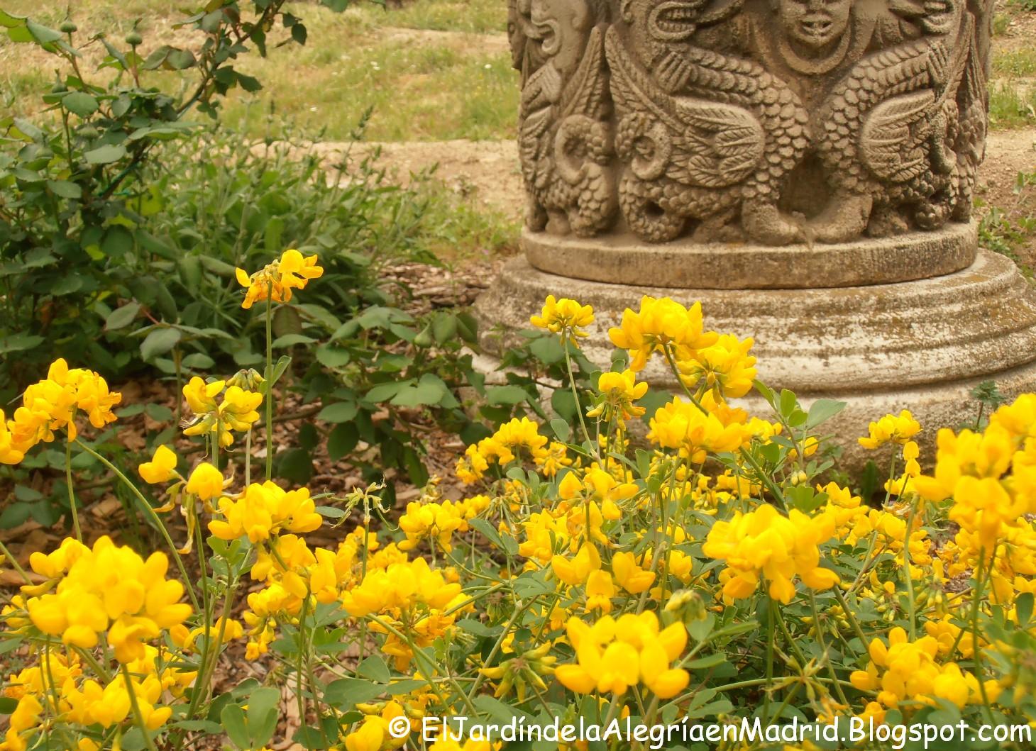El jard n de la alegr a coronilla emerus ruda inglesa o for Jardin de invierno sa