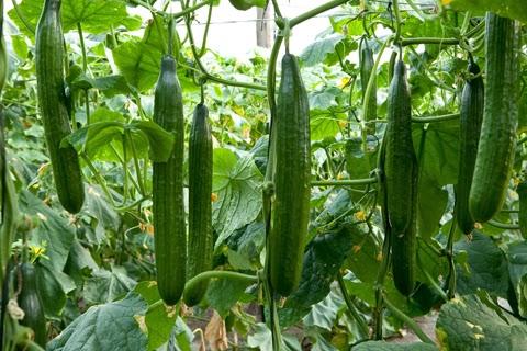 How to grow greenhouse cucumbers the garden of eaden for Plants to grow in garden