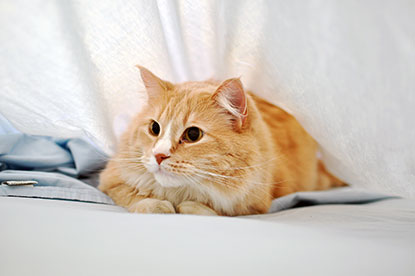 Cat hiding under bedsheets