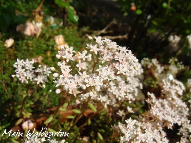 Mein Waldgarten Dachwurz Hauswurz Sempervivum