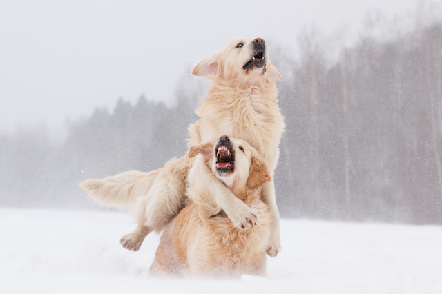 Adult dogs -  like these two Golden Retrievers - still play. More on why dogs play.