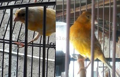 sahabat sanggup memperoleh pengalaman berharga Tips Berternak Burung Kenari Bagi Pemula