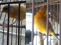 Tips Berternak Burung Kenari Bagi Pemula