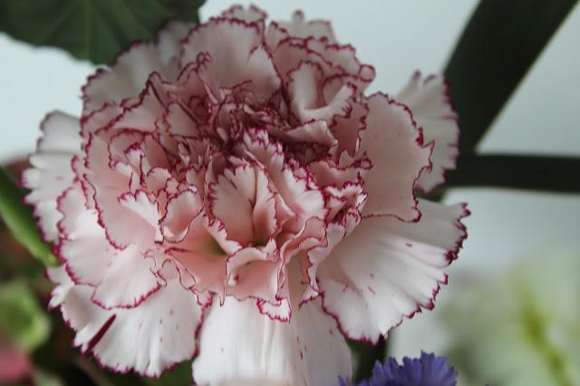 FlowerPowerBloggers Nelke