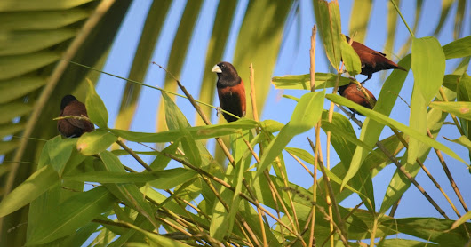 Chestnut Munia are abuzz