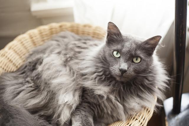 Saran Bermanfaat untuk Merawat Kucing Senior