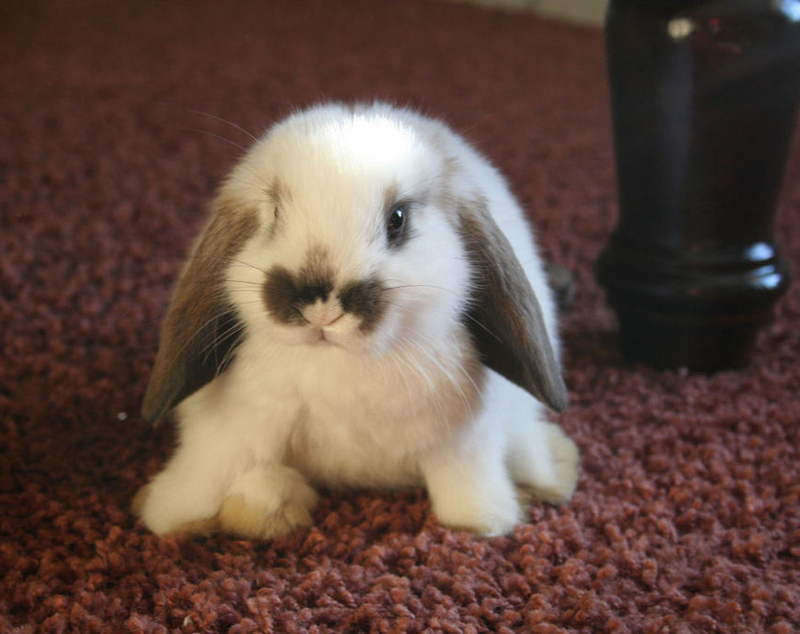 bunny bunnies adorable cutest rabbit tiny animals posts lop floppy ears lapin bunnie babies belier nain holland eared ever fluffy