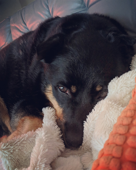 image of Zelda the Black and Tan Mutt snuggled up with a blanket on the couch