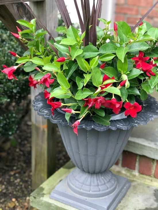 Dipladenia flowers in iron urns on the front stoop