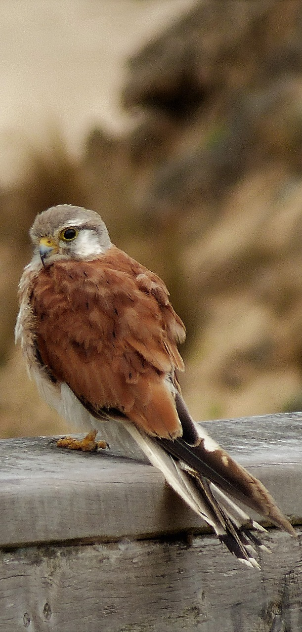 A falcon on a stone wall.