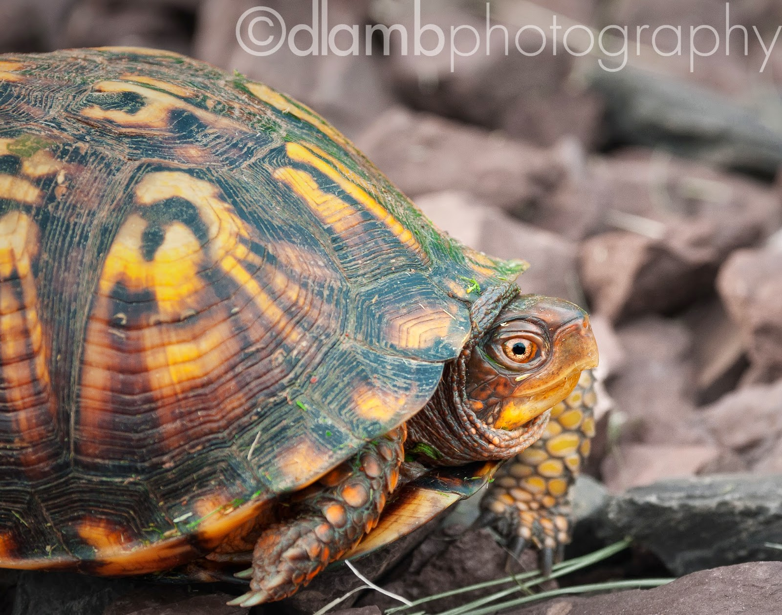 http://david-lamb.artistwebsites.com/featured/eastern-box-turtle-david-lamb.html