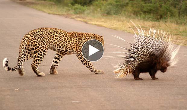 Leopard Attack Porcupi...