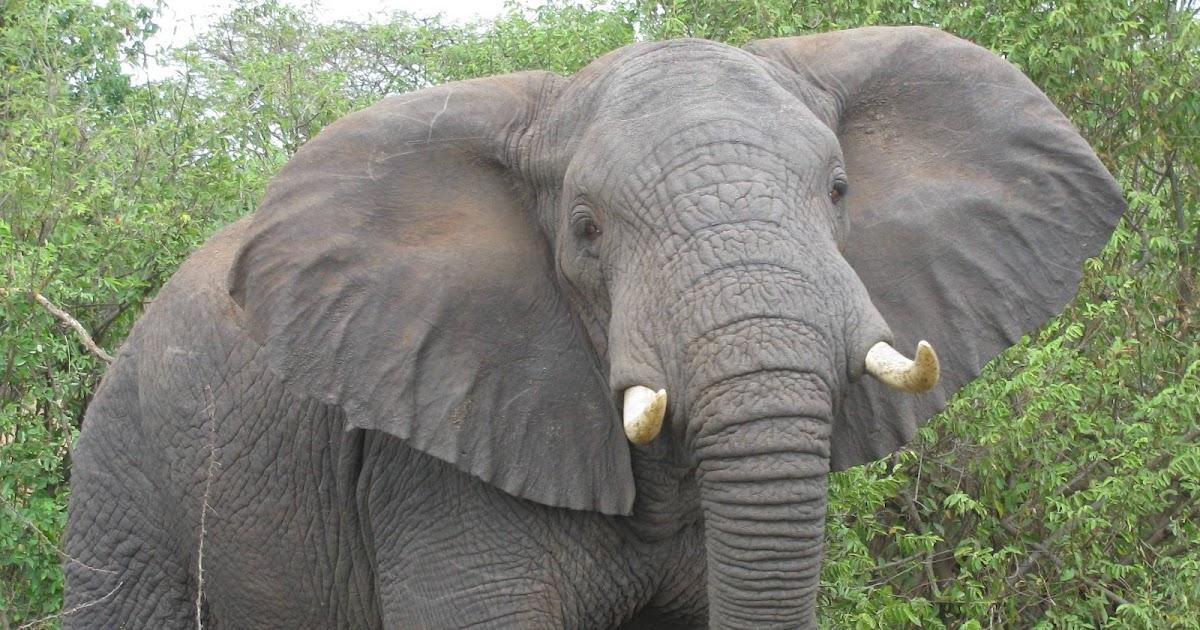 gambar gajah - Apick_Aw0x'z
