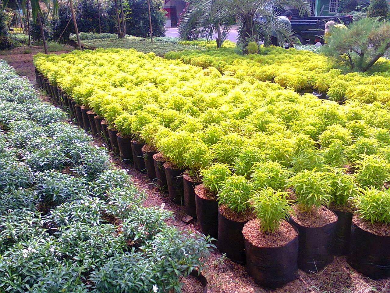 Jual Tanaman Hias Tukang Taman Jakarta Depok Bogor Biji Rumput