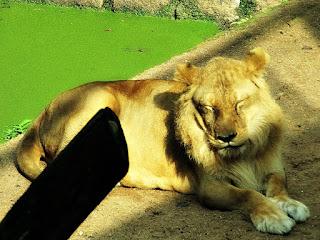 Leoa do Parque Zoológico de Sapucaia