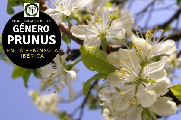 Lista de especies del Género Prunus, Cerezo, Familia Rosaceae en la Península Ibérica.