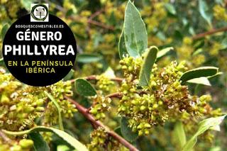 El género Phillyrea son arboles o arbustos perennifolios que pueden llegar a medir hasta 8 m. de altura
