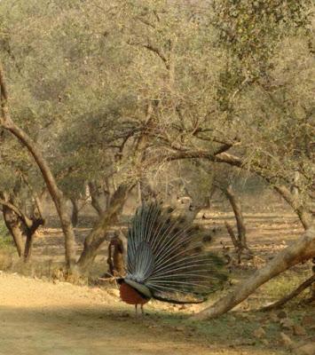 dancing-peacock-walls-imgs-rajsthan