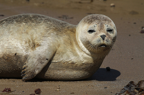 Latest Funny Pictures Funny Common Seal Pictures