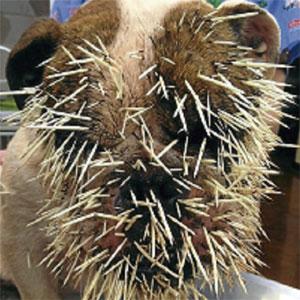 500 duri landak terpacak di muka anjing