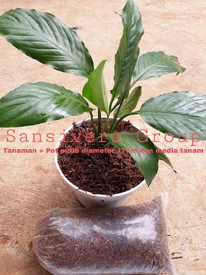 Tanaman Hias Spathiphyllum