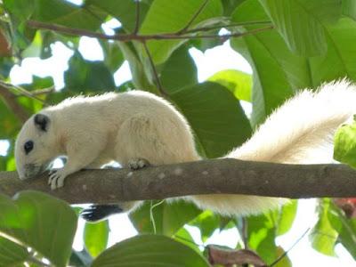 Weisses Eichhörnchen
