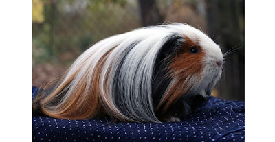 Silkie Guinea Pig Facts