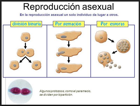Reproduccion asexual tipos de reproduccion asistida