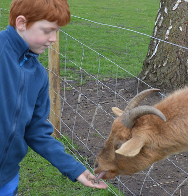 Tattershall Farm Park - A review - feeding a goat