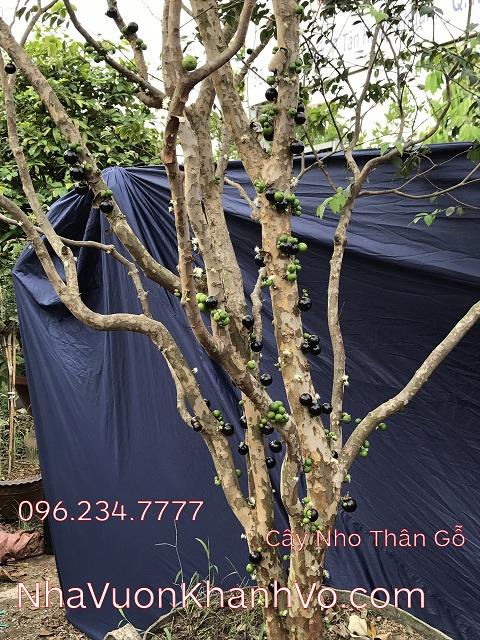 Mua bán rao vặt: Góc cây trồng: Cây Nho thân gỗ Jabuticaba Cay-nho-than-go-khanh-vo-3