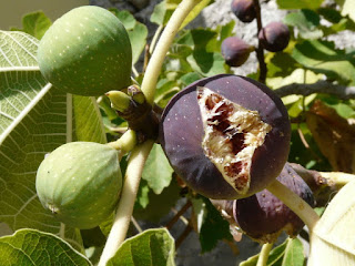 Figs - Ficus carica L Pictures
