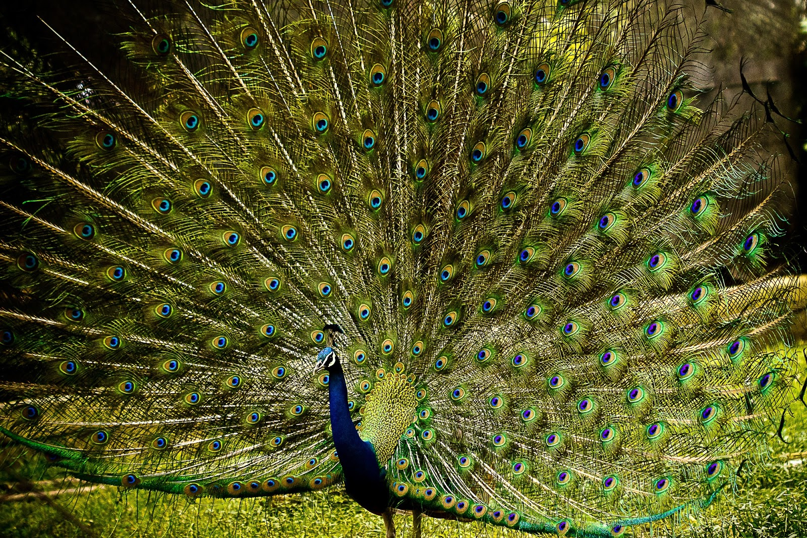 A picture of a peacock spreading it's feathers.