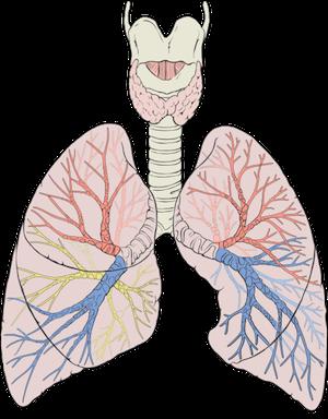 http://2.bp.blogspot.com/-0Py17CzYUyI/UKwPQ3huLBI/AAAAAAAAE2c/uON9DCbSBHA/s1600/lungs.png