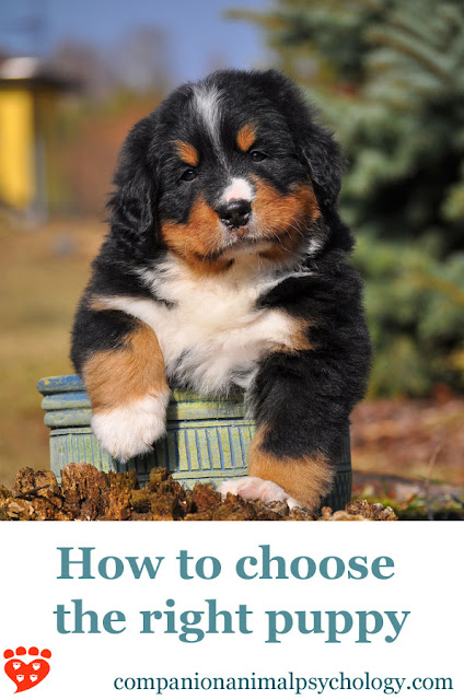 Four essential questions to ask when choosing a puppy, and a checklist of tips for picking your new family member. Photo shows Bernese Mountain Dog puppy