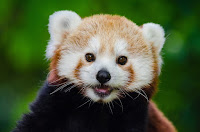 40 Weeks Pregnant Red Panda
