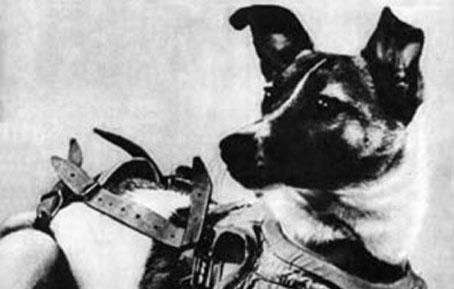 Cette image est une photo de la chienne Laïka. Laïka (du russe : Лайка, « petit aboyeur »)1 est une chienne du programme spatial soviétique et le deuxième être vivant mis en orbite autour de la Terre. Elle a été lancée par l'URSS à bord de l'engin spatial Spoutnik 2 le 3 novembre 1957, un mois après le lancement du premier satellite artificiel Spoutnik 1. Laïka mourut environ 7 heures après le lancement, de stress et de surchauffe, probablement due à une défaillance du système de régulation de température. La vraie cause de sa mort ne fut révélée que plusieurs décennies après la mission. Les versions qui subsistèrent jusqu'aux révélations du docteur Dimitri Malachenkov en 2002 affirmaient qu'elle était morte en consommant de la nourriture empoisonnée — qui avait été préparée pour lui éviter de souffrir de la chaleur lors du retour de Spoutnik 2 dans l'atmosphère — ou d'asphyxie à l'épuisement de ses réserves d'oxygène. Par ailleurs, on pensait jusqu'alors que Laïka était restée vivante quatre jours dans l'habitacle de l'engin spatial. La capsule spatiale se consuma le 14 avril 1958 en rentrant dans l'atmosphère terrestre.  Malgré la mort de Laïka, l'expérience prouva qu'un être vivant pouvait survivre à une mise en orbite autour de la Terre et subir les effets de l'impesanteur (Laïka n'étant morte qu'après cette étape). La mission Spoutnik 2 prépara le terrain pour le vol spatial de l'Homme en fournissant aux scientifiques les premières données sur les réactions des organismes vivants dans l'espace. Le Marginal Magnifique dénonce dans le poème qu'accompagne cette image les souffrances infligées à cette petite chienne innocente et par la même occasion l'expérimentation animale dans son ensemble qui fait honte à l'humanité. Le Marginal Magnifique dit ainsi avoir honte d'appartenir à la race humaine