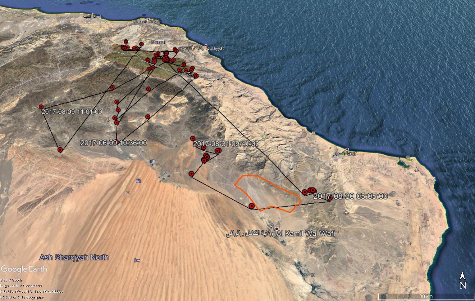 Egyptian Vultures in Oman الرخمة المصرية في عُمان: 2017