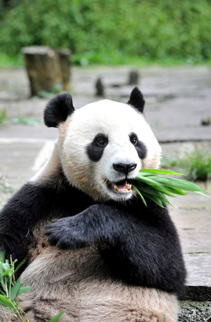 Jia Jia twists the stalks of bamboo shoots with her paws pulling out its leaves with her teeth.