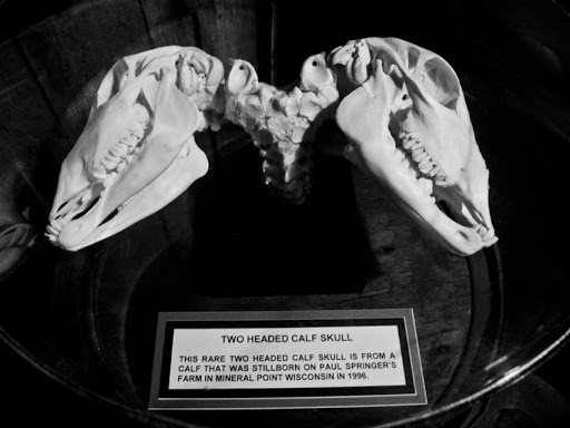 Skeleton of a two headed calf - Ripley's Wisconsin Dells